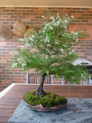 Bonsai Sannatha Pluriflora